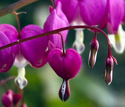 0052-2_Bleeding Hearts