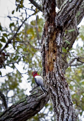 1211_Red Headed Woodpecker