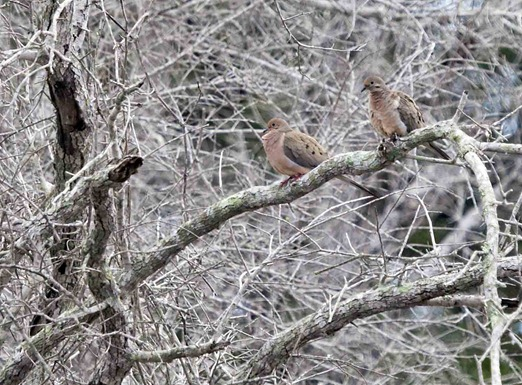 1241_Mourning Doves