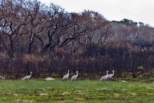 1497_Sandhill Cranes