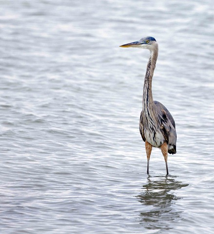 1775_Great Blue Heron