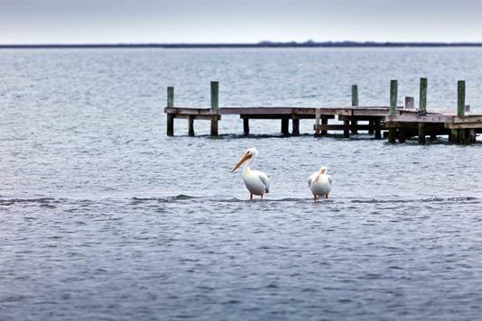 1783_Pelicans