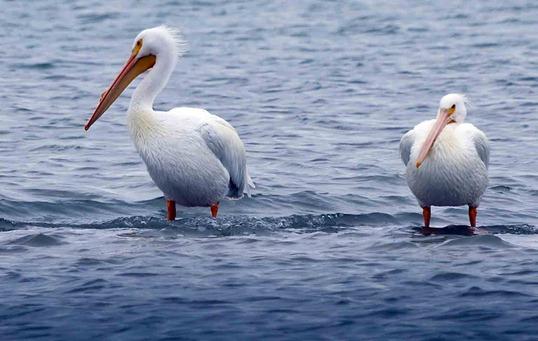 1803-3_Pelicans CROP
