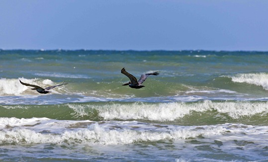2476_Brown Pelicans