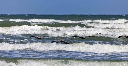 2488_Brown Pelicans