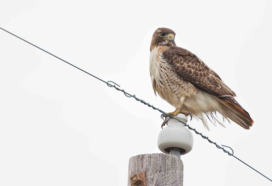 2642-2_Red Tail Hawk