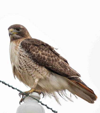 2644-2_Red Tail Hawk