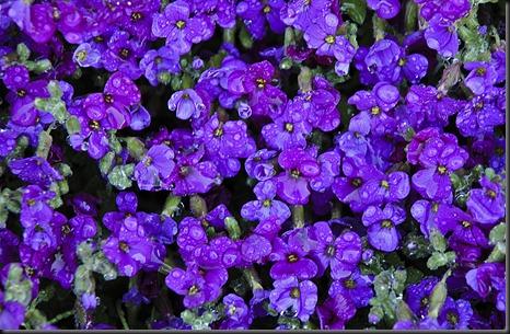 PurpleFlowersWet
