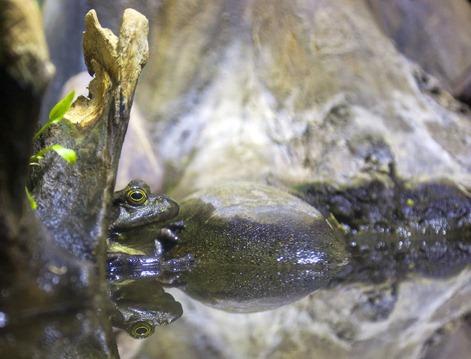 1239_Bullfrog