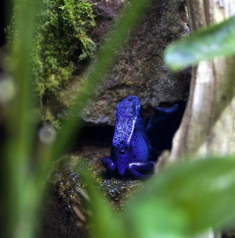 1346-2_Poison Dart Frog