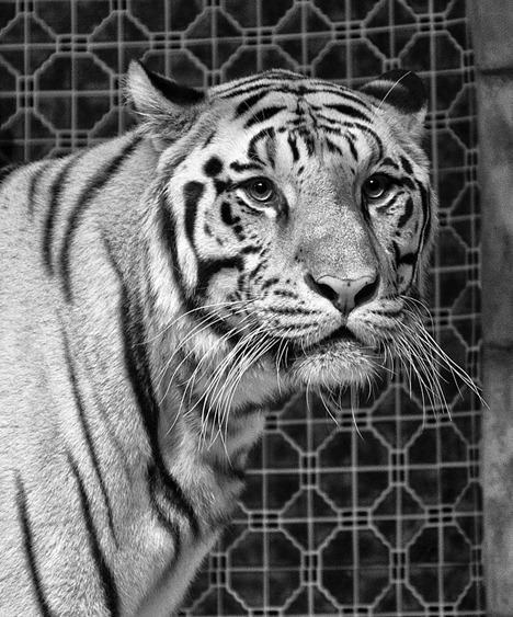 1486-White Bengal Tiger BW