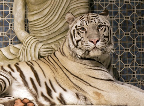 1495-3_White Bengal Tiger CROP
