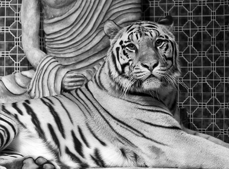 1495-White Bengal BW