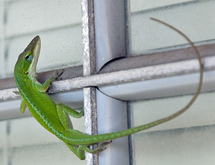1781-4_Little Green Lizard
