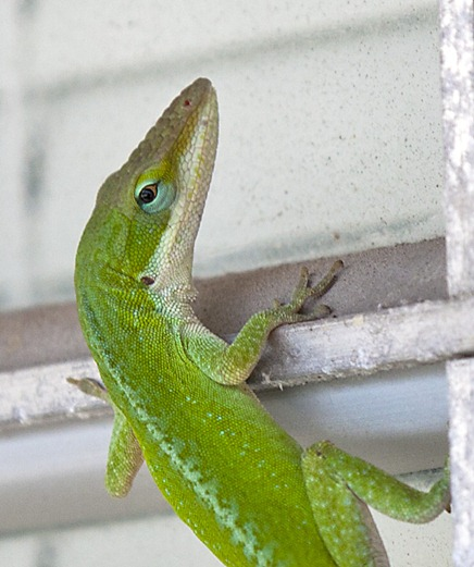 1781-5_Little Green Lizard 67Pct Crop