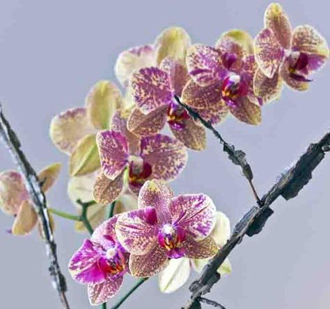 4234_Orchid Arrangement