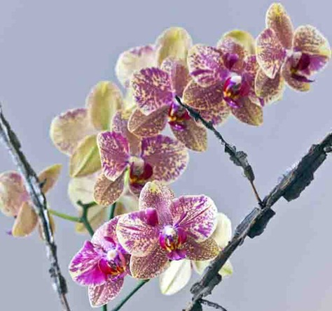 4234_Orchid Arrangement