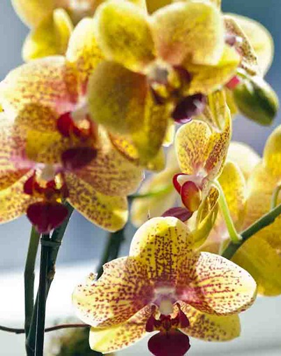 4256_Yellow Orchids