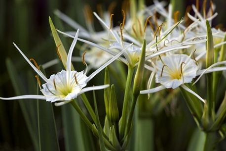 5009_Spider Lilies