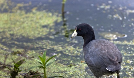 5156_American Coot