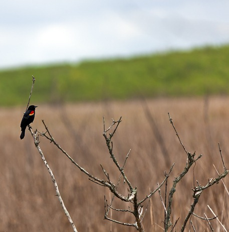 5283_Red Wing Blackbird