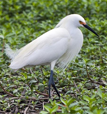 5418_Snowy Egret