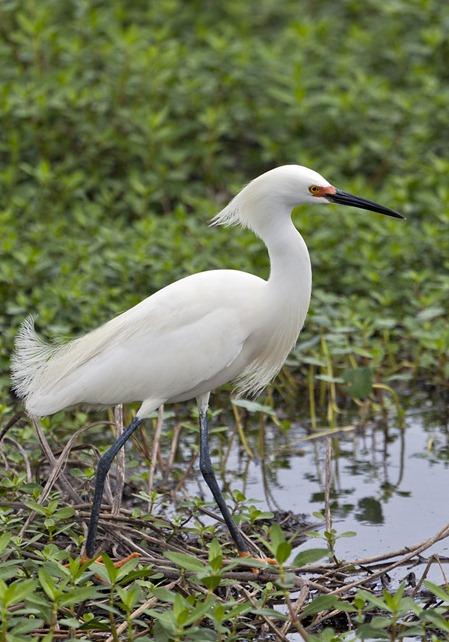 5447_Snowy Egret