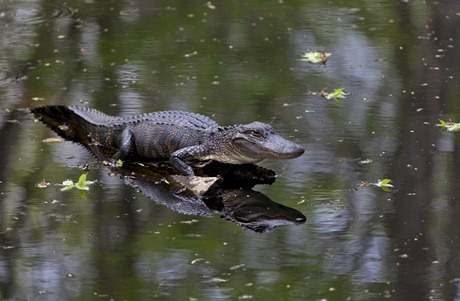 5640_Alligator Reflection