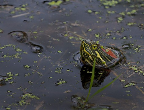 5714-2_Turtle Head