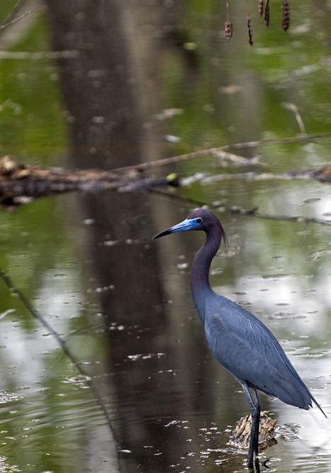 5797_Little Blue Heron