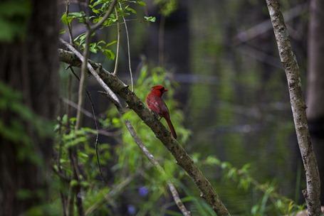 5849_Cardinal