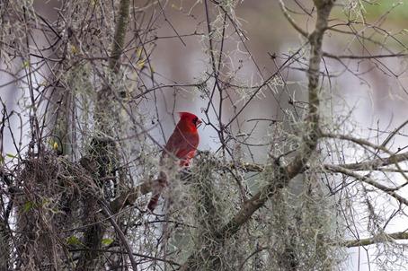 5889_Redbird