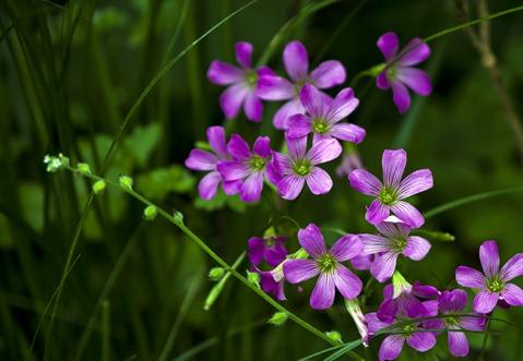 6081_Little Purple Flowers