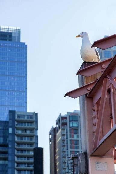4784_Seagull and Skyscraper