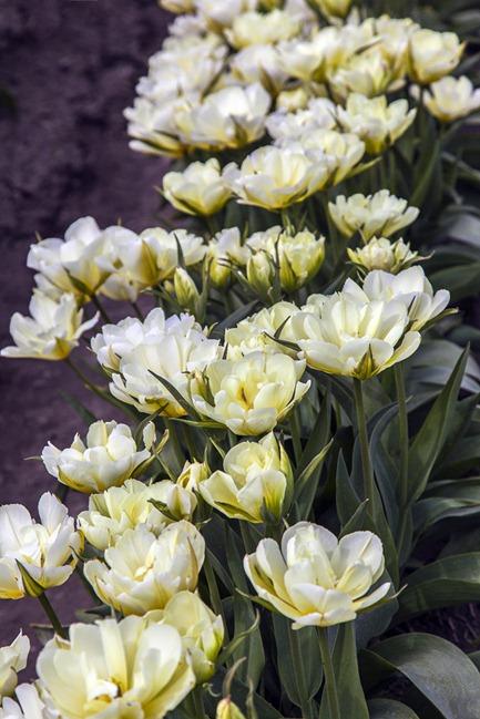 5088_White Tulips