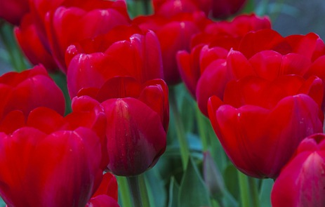 5150 Red Tulips CROP