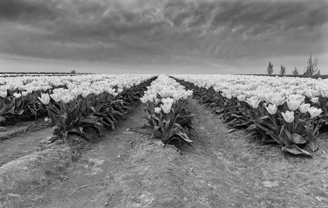 6329_Yellow Rows-BW