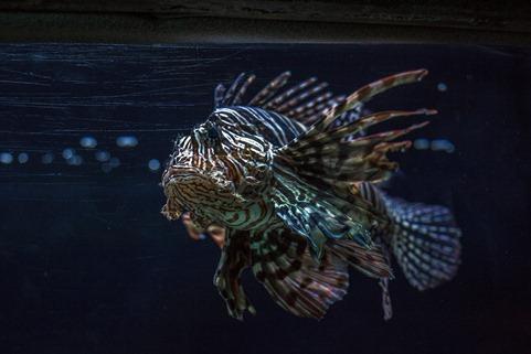 94C0794_Scorpionfish