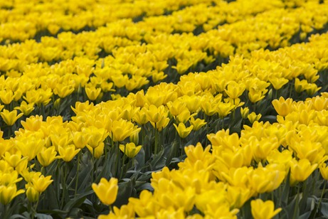 94C3498_Yellow Rows