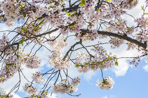 94C9423_CherryBlossoms