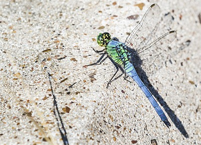 6480_Beautiful Dragonfly