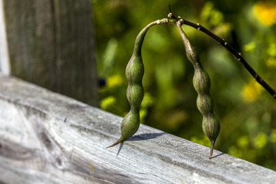 6996_Seed Pods