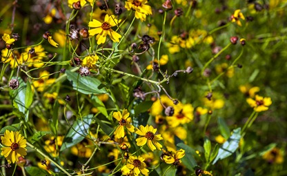 7067_Unknown Yellow Flower