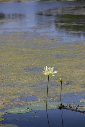 7349_American Lotus