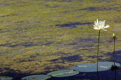 7355_American Lotus