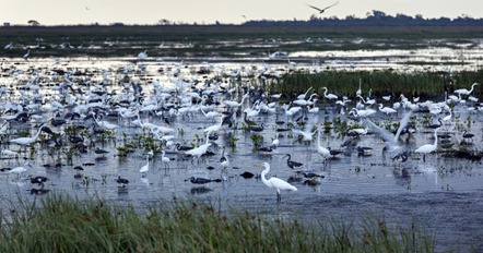 8120_Herons and Egrets