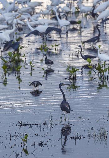 8139-4_Herons and Egrets CROP