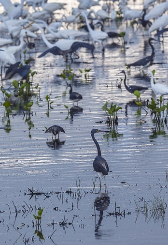 8139-4_Herons and Egrets CROP