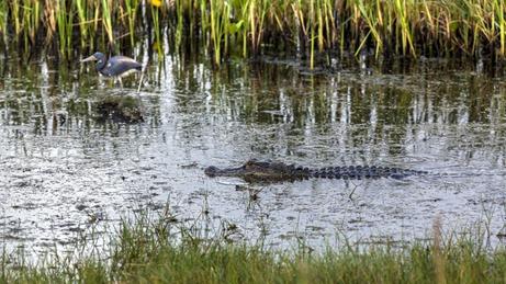 8191_American Alligator