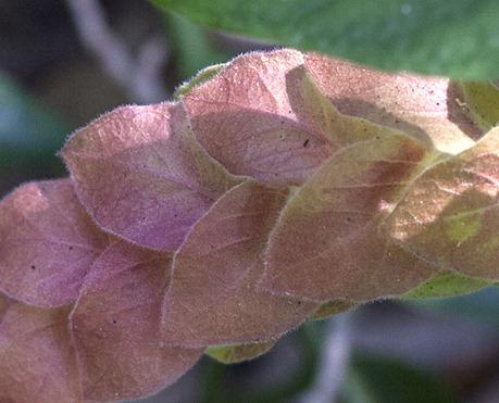 9584_Shrimp Plant Flower_CROP100pct